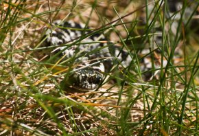 Snake_in_the_Grass_-_geograph.org.uk_-_1251933